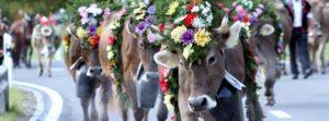 Herbstmarkt mit Viehausstellung